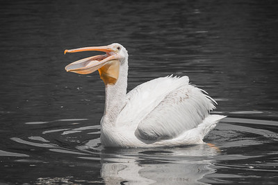 Pelican Happy Face
