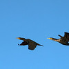 Cormorants Soaring