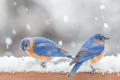 #535 Eastern Bluebirds