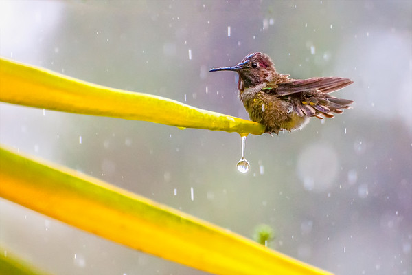 Hummingbird on a Rainy Day