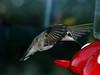 Black-Chinned Hummingbird D80 136 007