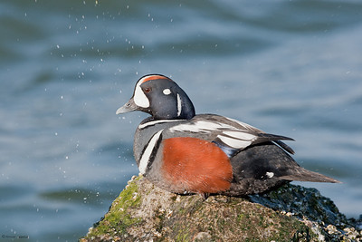 Harlequin Duck, drake
