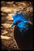 Victoria Pigeon