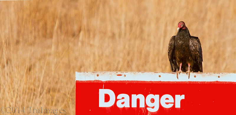 """Mar 14<br /> Danger<br /> <br /> I thought it was sort of funny that this vulture chose to sit on this """"danger"""" sign, trying to make himself seem scarier!"""