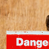 "Mar 14<br /> Danger<br /> <br /> I thought it was sort of funny that this vulture chose to sit on this ""danger"" sign, trying to make himself seem scarier!"