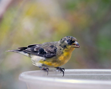 Lesser Goldfinch Moulting into Breeding Plumage Carduelis psaltria