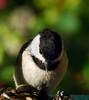 Carolina Chickadee 037_f