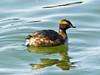 Horned Grebe, <em>Podiceps auritus</em> Ballena Bay, Alameda, Alameda Co., CA  2012/03/23