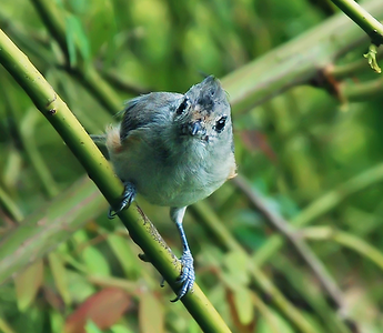 Immature Black-Crested Titmouse