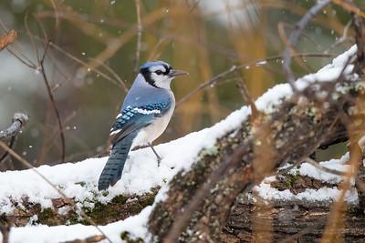 #1553 Blue Jay