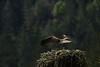 _MG_7995 osprey nest takeoff © bob wilson 2010