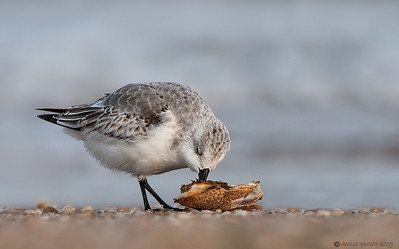 Sanderling with Crab