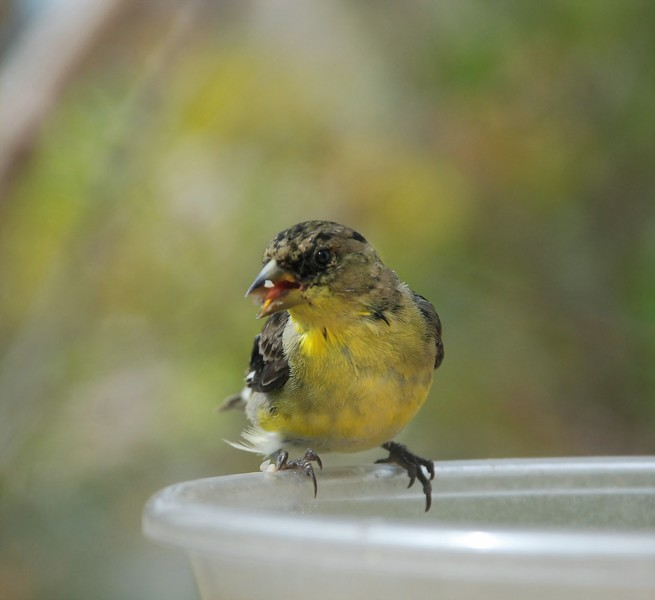 Lesser Goldfinch Moulting and eating a seed