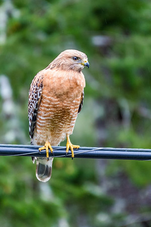 Another Hawk, Out There, On the Wire.