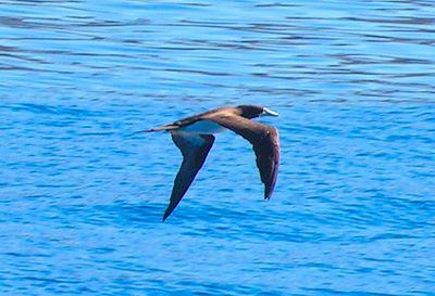 064, Brown Booby, off Waimea, Kaua'i, HI, aug 23, 2005