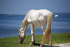 White Stallion grazing along the banks of the ICW/Cumberland Sound on Cumberland Island. This wild white stallion is probably a decendent of a White Stallion the Carnegies puchased from the Imperial Stud Farms of the Russian Czar in 1896. Cumberland Island Georgia Wild Horses