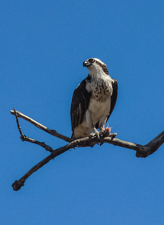 Osprey, Sandy Hook, New Jersey