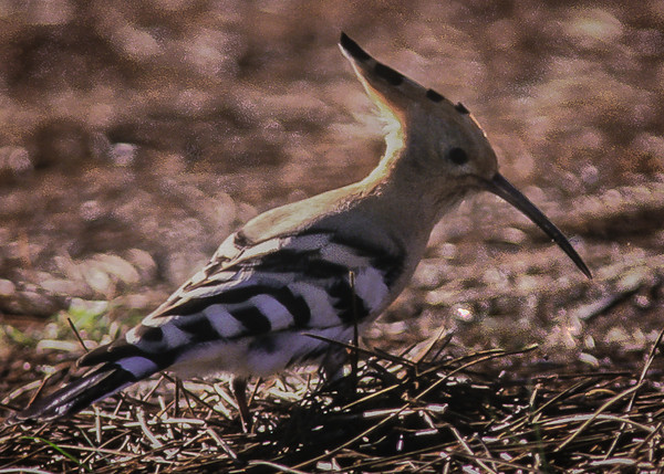 "December lst, 1999   THIS TERRIBLE SHOT OF A HOOPOE COST US OVER $6,000!   <br /> Checked into the Hotel Residencia Patilla in El Saler, a small town on the southern edge of Valencia, Spain, on the Mediterranean coast and spent a couple of days exploring the pine woods and La Albufera Wildlife Reserve and dining on delicious paella at a warm and welcoming little restaurant there.  We were still searching for the elusive Hoopoe, a little clown of drab orange bird with plumage like black and white striped 'pants', a long pointed bill and a peaked crown.  So, we were excited to see one fly into the woods and to find a pull-out at the roadside right there.  Robert walked into the woods with his camera while Virginia first ducked behind a big bush to pee, then emerged, surprised to see that another car had parked nearby but relieved to see there was no one in sight of her.  We followed the Hoopoe down the pathway as the little devil managed to stay just far enough ahead of us in the dim light to make any good photo impossible.  The other car was gone when we returned and we drove some distance before realizing that one of the back windows had a big hole in it!  WE HAD BEEN ROBBED!  Gone were Canon cameras and lenses, a purse containing checks, rings and watches, and a large package of travel clothing we picked up from the cleaners.  Damn!  Fortunately, we always carried our passports, some cash, travelers' checks and credit cards in two wallets around our necks.  Reporting the theft to the police was a Three Stooges escapade including first finding the 'right kind' of police (the first two were the 'wrong kind');  then following a  third officer in his car to the ""central station"" as it raced at breakneck speed through, by then dark, dusty, narrow roads and suspicious-looking alley-ways;  then making a long, complicated ""report"" in very broken high-school Spanish, only to be ASSURED that it was most certainly a COMPLETELY hopeless matter.  The next morning we posted a notice on the broken window of our car which stated, we hope (in high-school Spanish), that trying to steal anything further from the car was pointless as we had already been robbed and that we would pay MANY pesetas for the return of our property to the desk at the hotel (they had kindly agreed to be our 'middle-men').  The next evening as we watched the car from our seats by the window of a restaurant and ate our card-table-sized pan of wonderful paella, several people stopped, read our little notice, laughed and laughed and walked on . . ."