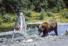 THE BEAR ADDED INSULT TO INJURY . . .