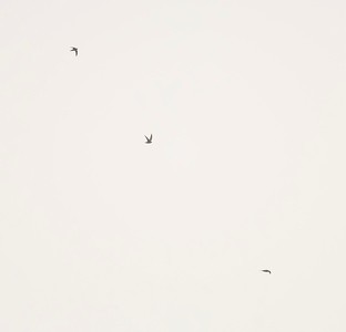 Three Black Swifts