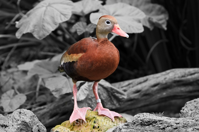 Black-bellied Whistling Duck - SF Zoo #6266 B & W