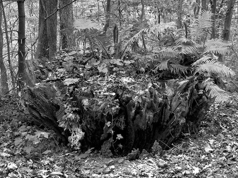 Tree Stump, C&O Canal National Historic Park, Maryland