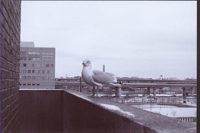 "My final portrait of the Seagull.  Note the Bunker Hill Monument ""sticking out"" of him."