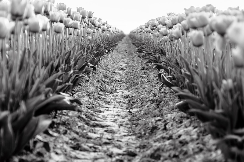 Looking Down the Row of Tulips - Black & White