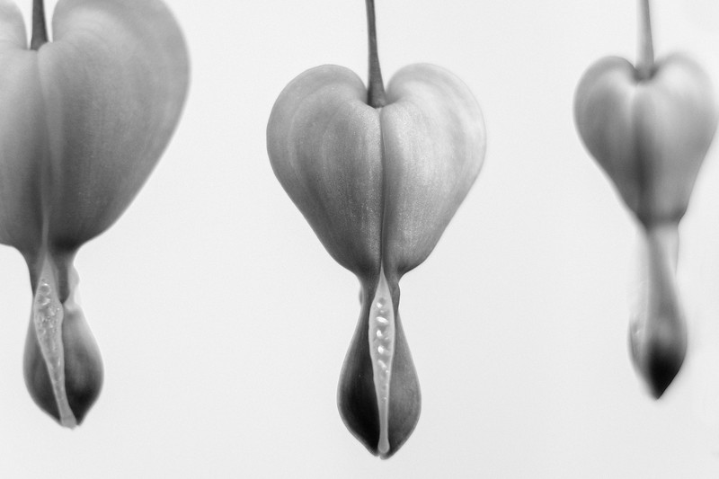 Bleeding Hearts - Black & White
