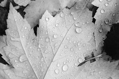 Water Droplets on Leaf; Black and White