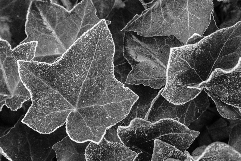 Frosty Ground Cover; Black & White