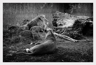 Lions in Copenhagen Zoo. / Løver i København Zoo.