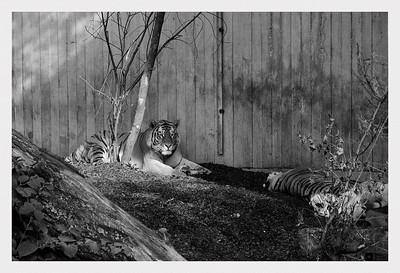 Tigers in Copenhagen Zoo. / Tigre i København Zoo.