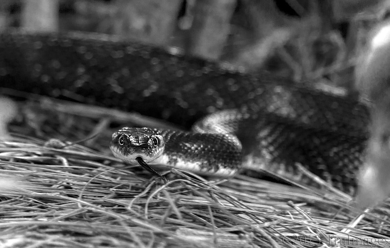 Jun 10<br /> I Ssssssee you!<br /> <br /> Visited one of favorite lakes yesterday to find the lake level had risen high into the park area due to tropical storm Andrea Friday. The local animals had to move inland to higher ground including this guy, which we saw slithering along, sneaking around bushes and shrubs.<br /> <br /> Update: This species is known as a Black rat snake. Fairly common in NC.<br /> <br /> Thanks for viewing and commenting. Out of town attending a graduation over the weekend so will try to catch up with everyone soon!