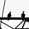 Jul 21<br /> B =B&W Black vultures <br /> <br /> These Black vultures were sitting high above a lake, watching and waiting for an easy fish dinner!<br /> Have a great Sunday everyone!