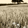 The Wheat and the Tree