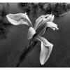 Japanese water Iris on the refuge