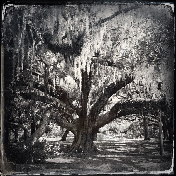 Watchers of the bayou. Ancient Oaks all dressed up in spanish moss. New Orleans