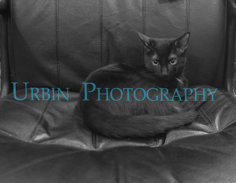 Black American Shorthair kitten on my chair