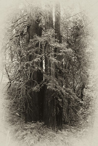 Old redwoods portrayed as a antique photo.