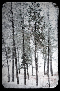 Back yard pines laden with fresh snow in Forest Lakes, Colorado