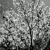 Blooming Cherry Tree at Huntington Beach Library in California black and white