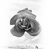 Rose Composite black and white