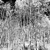 Aspen Trees in Colorado 2 black and white