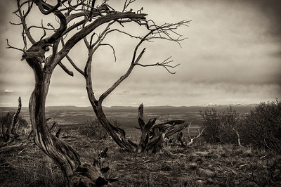 The wind has sculpted these trees in Mesa Verde, Colorado