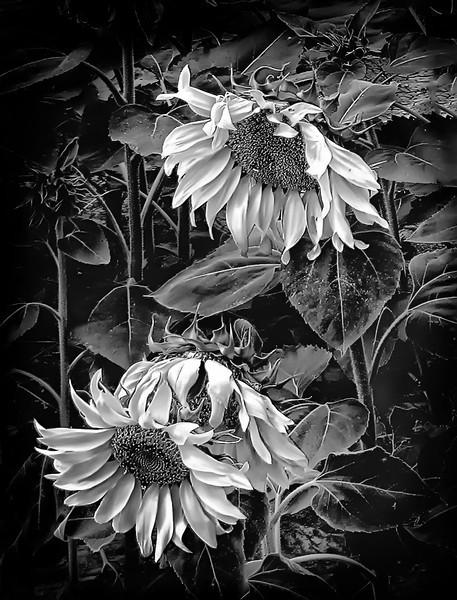 Black and White Colorado SunFlowers