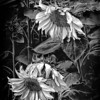 Black and White Colorado SunFlowers