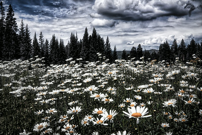 Cloudy Day Meadow Flowers