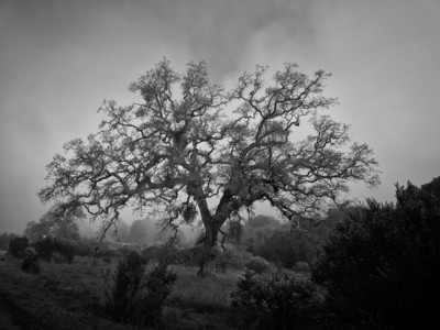 Windy Hill oak tree shrouded in light sun lit mist.