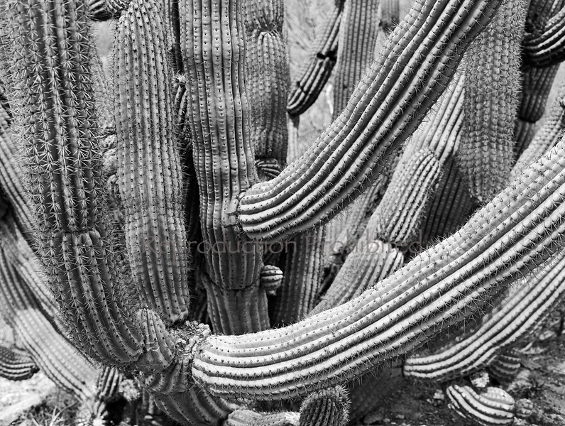 Organ Pipes Organ Pipe Cactus National Monument, AZ